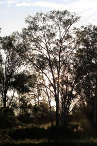twilight australina trees